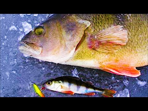 ПОЛОСАТЫЕ ЗВЕРЮГИ РАЗРЫВАЮТ БАЛАНСИР!!! РАЗДАЧА Напоролись на Крупного Окуня. Зимняя рыбалка 2018