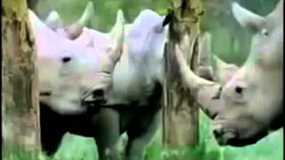 sức mạnh loài voi đấu với tê giác