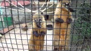Носухи в зоопарке Ялты