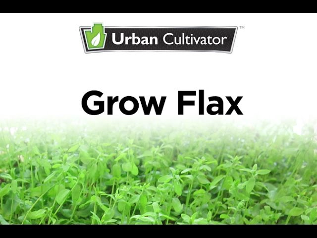 How To Grow Flax Indoors