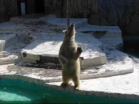 吊りサバ#1 (日本平動物園のホッキョクグマ、ロッシー)