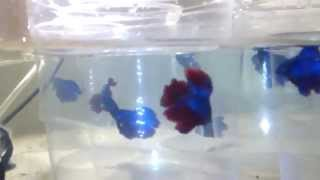 Mis bettas double tail  hibridos con halfmoon