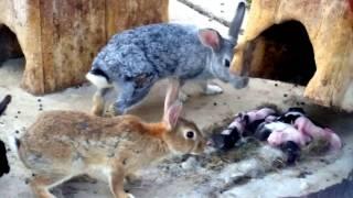 Yeni doğmuş tavşan yavruları