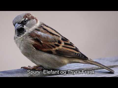 Spurv: Elefant og Thyra Frank