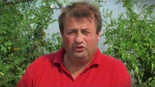 Tomaten im Garten - 5 Fehler