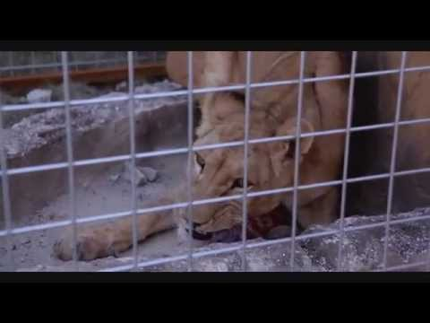 Helly Luv Closing Down The Second Worst Zoo In The World. (gilkant Zoo, Erbil) video