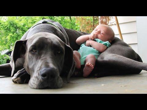 Niños jugando con perros mucho más grandes que ellos