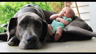 Big  Dogs Playing with Babies