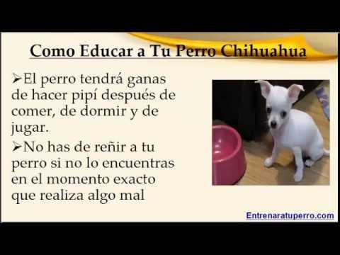 Como educar a un perro chihuahua youtube - Como banar a un perro ...
