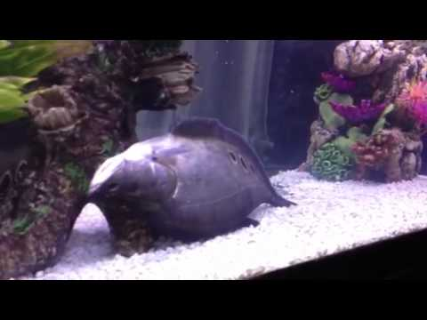 My clown knife fish dying youtube for Clown knife fish
