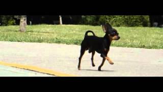 1 kg 3 y.o MinPin running in Slow Motion 400 fps (very funny) Miniature Pinscher Toy Puppy