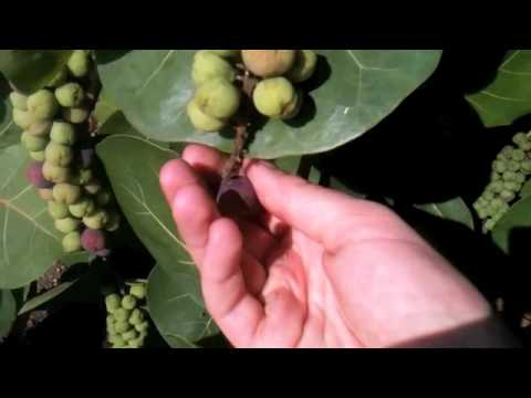 PICKING SEA GRAPES