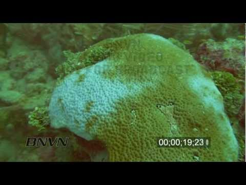 12/11/2009 Stock footage of Coral Bleaching in the Marquesas Keys, Florida