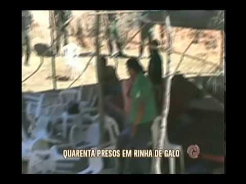 Rinha de galo resulta em quarenta presos no Vale do Rio Doce
