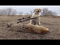 Molly, Hunting Dog, Retrieves a Coyote - Rancher Wants Coyote in Cattle GONE! Right One For the Job!