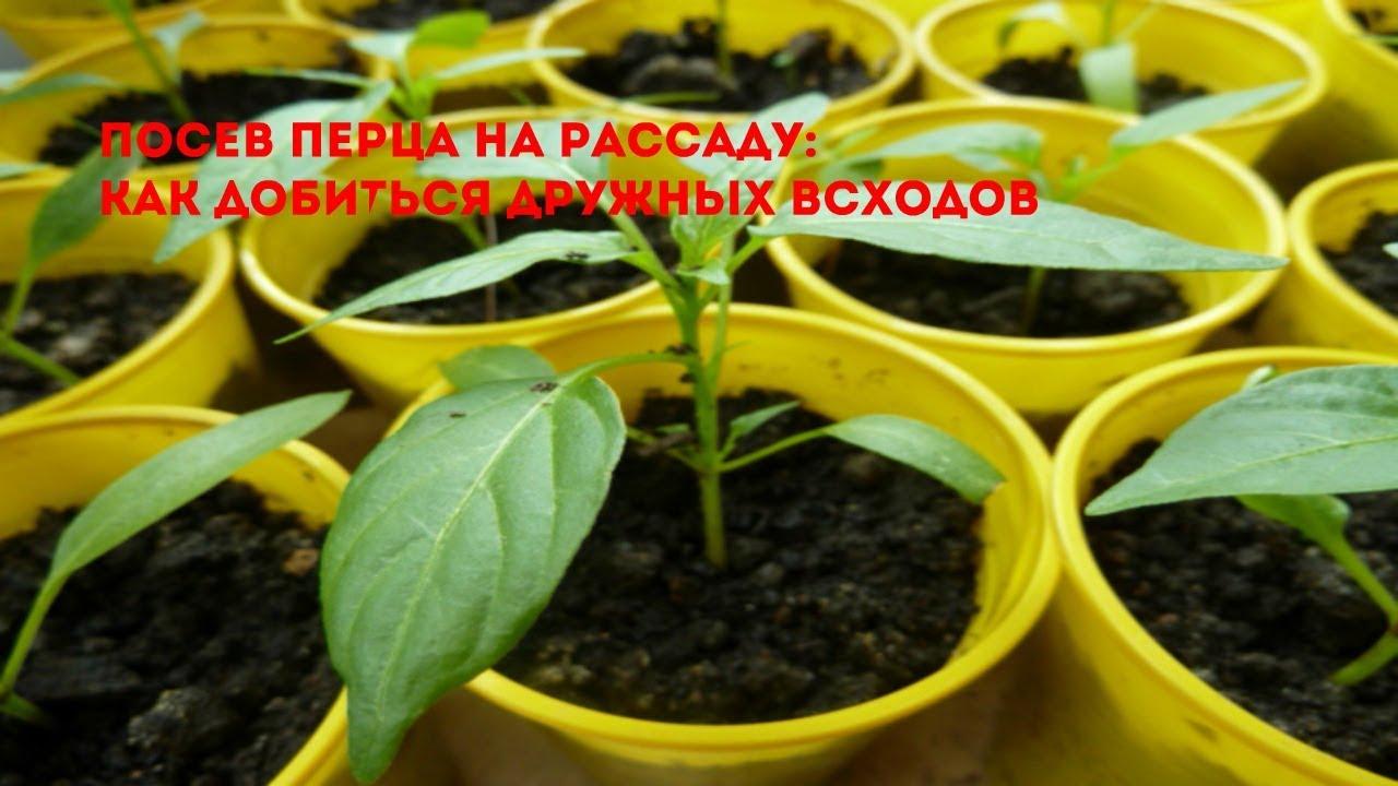 Как сеять перец на рассаду 766