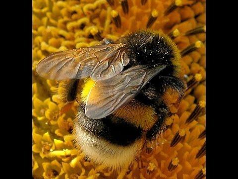 Von Hummeln und Bienen