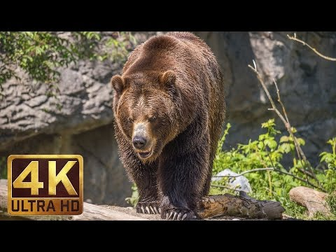 Play 4K Ultra HD Video of Wild Animals - 1 HR 4K Wildlife Scenery with Floating Music in Mp3, Mp4 and 3GP