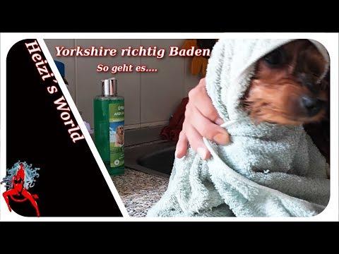Yorkshire richtig Baden/ Hunde Baden / - Tiere | Die Heizerbraut 4K