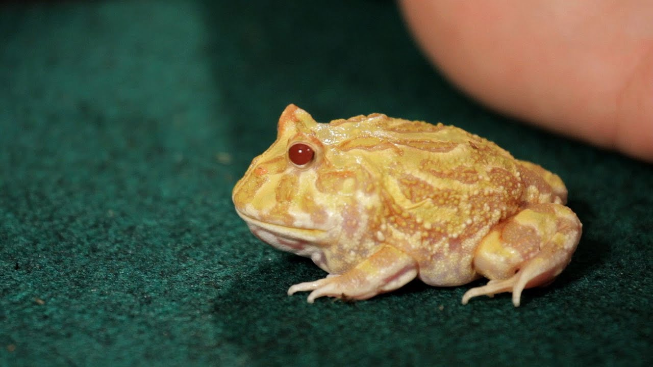 Reptiles Pets List Frogs | Pet Reptiles