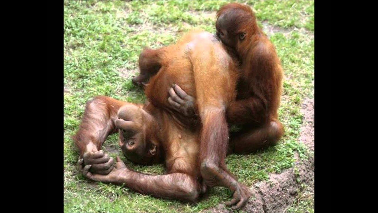 Orangutan xxx sexual pictures