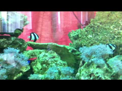 my 8ft x 2ft x 2ft marine tank emperor angelfish dog fash puffer fish and more