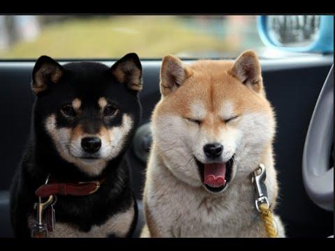 【柴犬癒しch】猫に必死に話しかける柴犬が可愛すぎてやばい。。