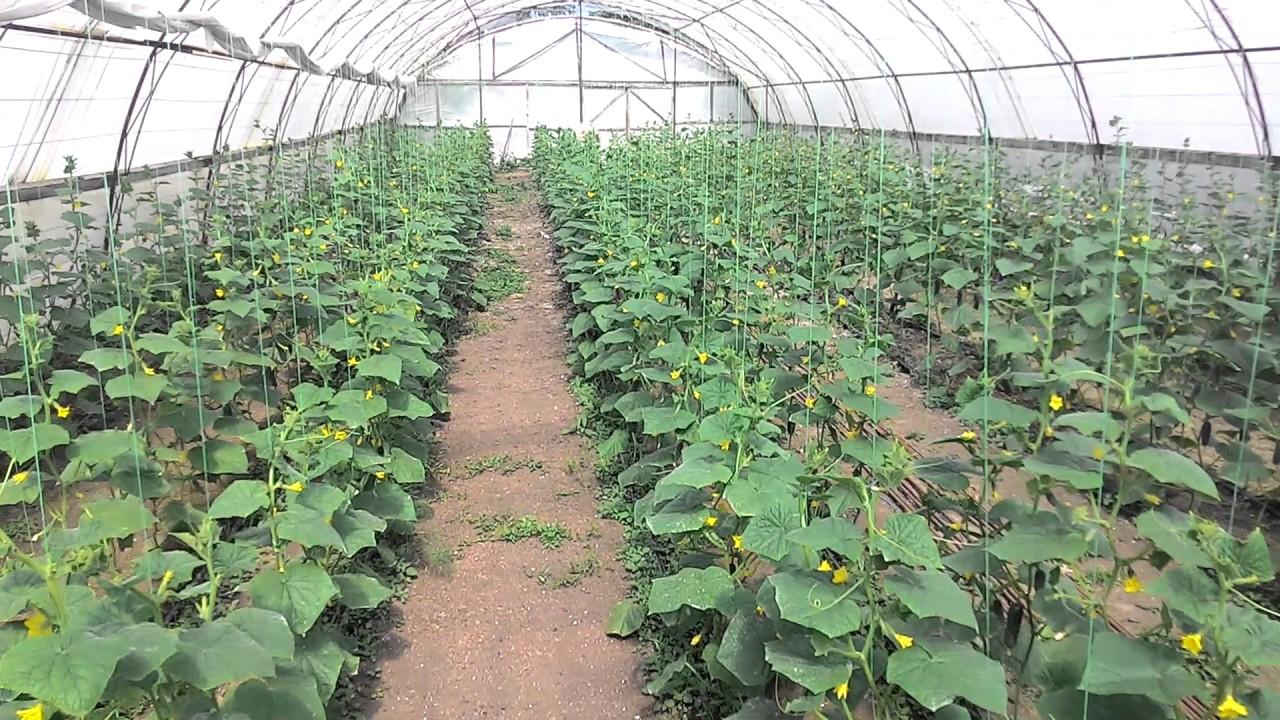 Выращивание огурцов в теплице зимой из поликарбоната 22