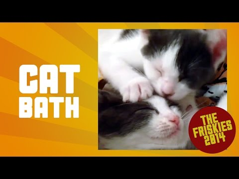Lilac Giving Brother a Bath - Finalist, The Friskies 2014 Cat Video Awards