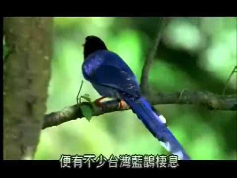 【陽明山國家公園管理處】台灣藍鵲的故事-陽明山國家公園具代表性鳥類