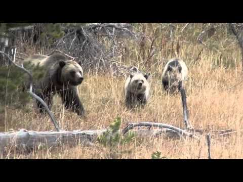 Grizzly Bear Family in Yellowstone: Too Close for Comfort!