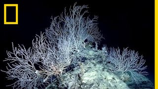 Hidden Forest of Bamboo Coral May Be 1,000 Years Old | National Geographic