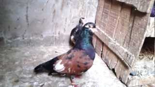 Agra Beautiful pigeons 30 India-indian