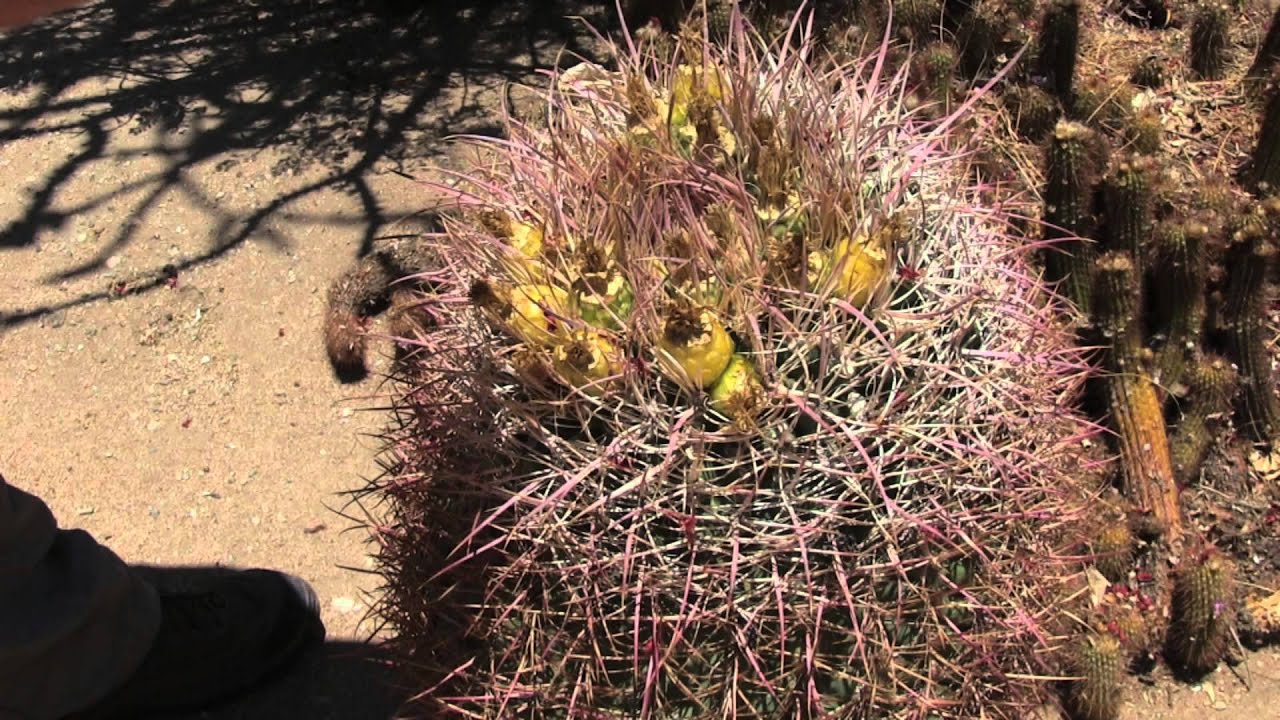 Barrel Cactus Barrel Cactus Uses