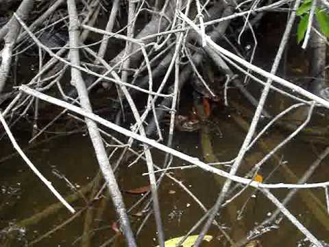 cobra no rio preto em PVH