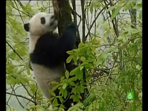 Documental. Osos Panda Homenaje a las madres del mundo animal 11/17