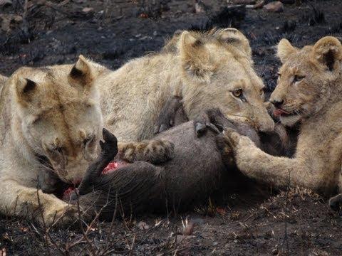 Safari 2011: Lions versus warthog
