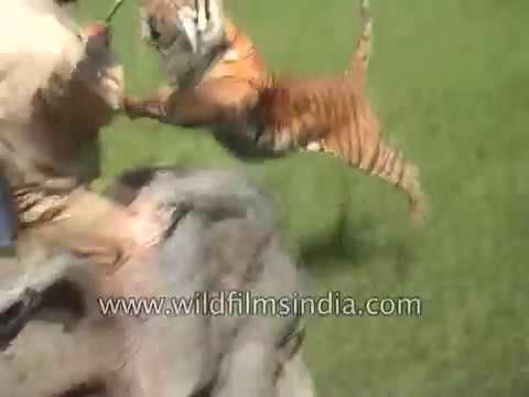 The most famous Animal attack ever! Tiger and elephant encounter in India