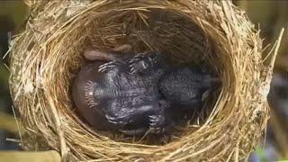 Tu hú loài chim không bao giờ nuôi con