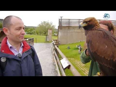Águila real en directo