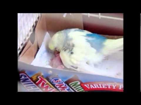 Parakeet Budgie Baby Parakeet/budgie Feeding The