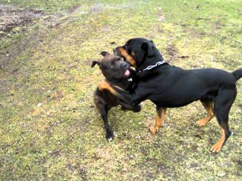 Chiot Pitbull américain croisé Rottweiler avec un très