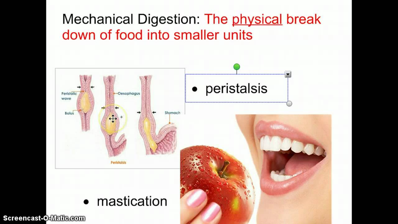 an analysis of the process of food digestion in human stomach