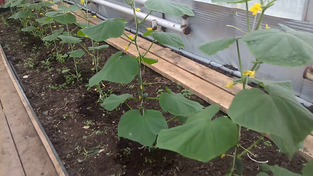 Особенности выращивания огурцов в теплице 90