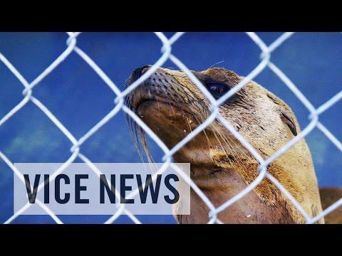 California's Sea Lion Die-Off