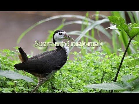 Suara memikat burung ruak ruak wak wak mp3