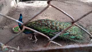 Peacock Opening Feathers (ময়ূরের পালক খোলার দৃশ্য) - Peacock Dance Display HD