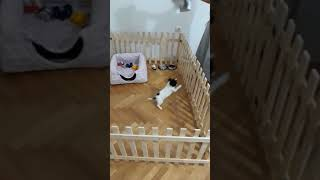 Chihuahua (şivava) pekmez aşkı