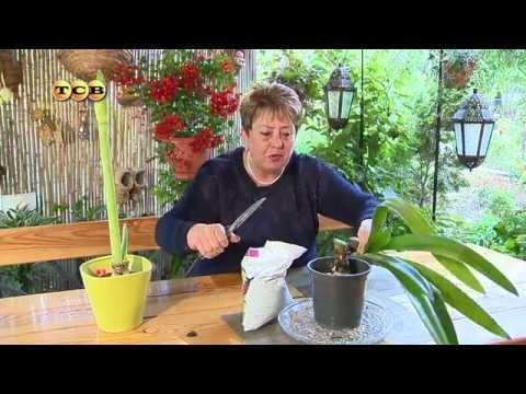 Как ухаживать за амариллисом домашних условиях