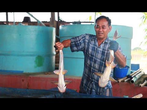 เศรษฐีเกษตร 30/10/57 : ฟาร์มเพาะเลี้ยงปลาสวาย